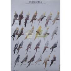 Ninfas - Cockatiels